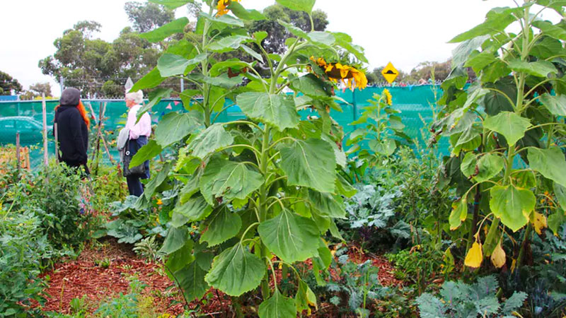 Creating a place like Sustainable Fawkner's 'Dandelion Patch' depends on access to suitable land. More creative public housing policies could lead the way in developing more community food gardens. Image: Flickr